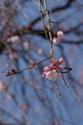 枝垂れ桜はもうすぐ満開