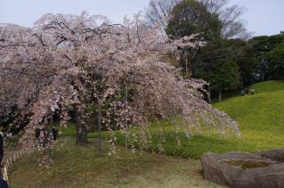 ここは枝垂れ桜が見どころ
