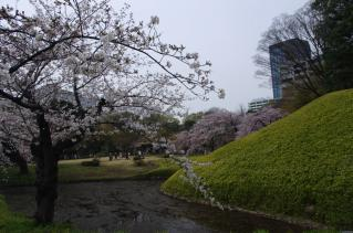 ソメイヨシノのバックに枝垂れ桜