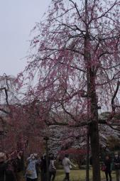 枝垂れ桜の長女