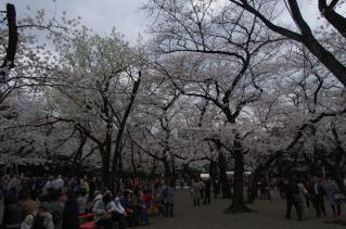 広く、そして桜が多い