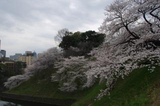 これぞ東京の桜ですね