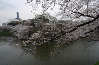 圧巻の桜、満開
