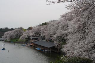 桜並木バンザイ