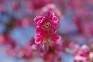 桜を愛でる前に梅を愛でる