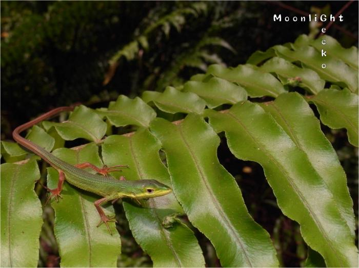 ミヤコカナヘビ