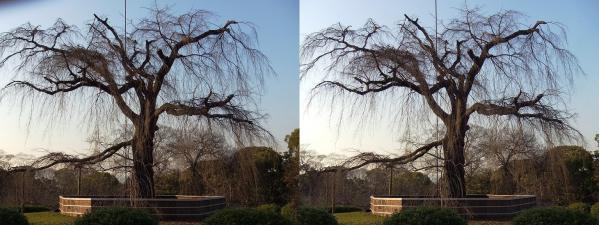 円山公園 枝垂桜(平行法)