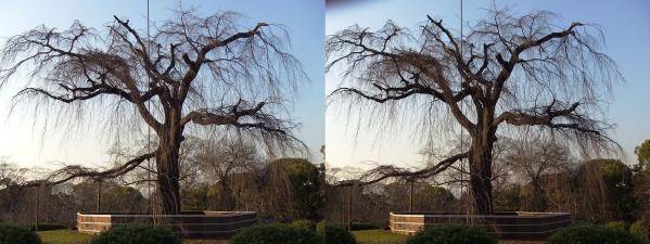 円山公園 枝垂桜(交差法)