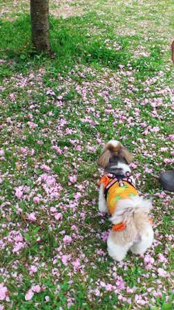 春がおわりそうでちね