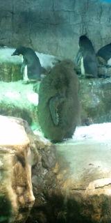 生え変わりペンギン