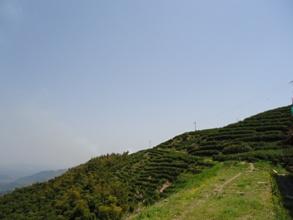お寺裏の茶園