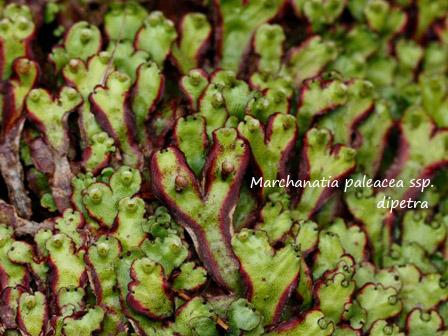 Marchanatia paleacea ssp dipetra