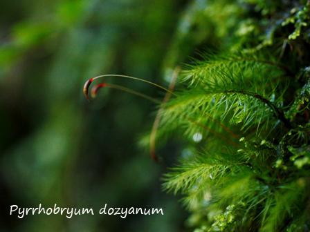 Pyrrhobryum dozyanum