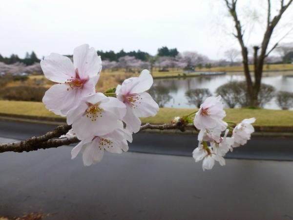 130331柏原公園桜01