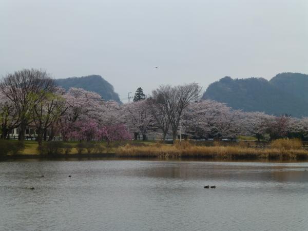 130331柏原公園桜03