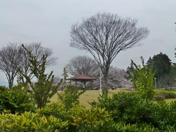 130331柏原公園桜04