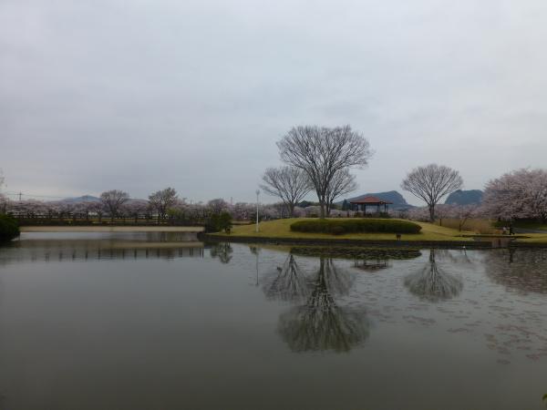 130331柏原公園桜05