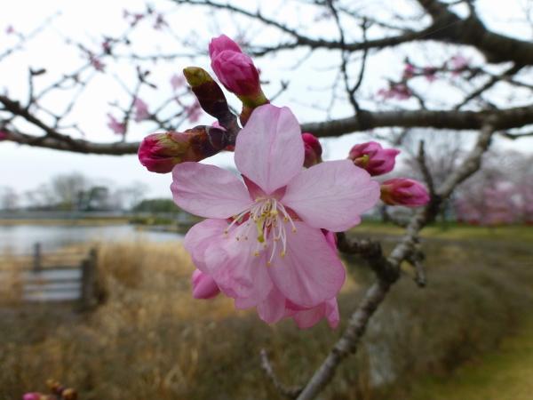 130331柏原公園桜06