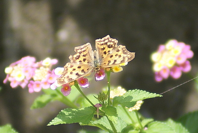0626-6ランタナと蝶