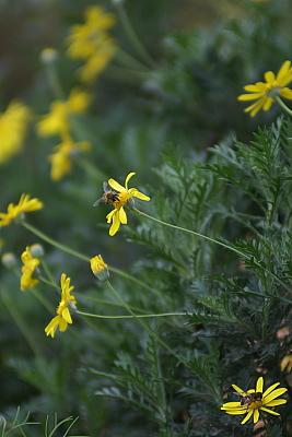 0626-7ユリオプスデージーとミツバチ