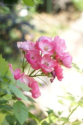 0710-3ロブリッタ二番花