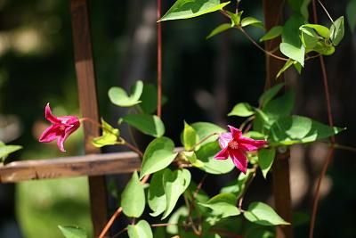 0806-6プリンセスダイアナ二番花