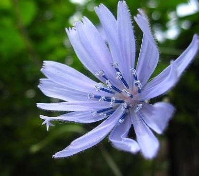 ちこりの花2