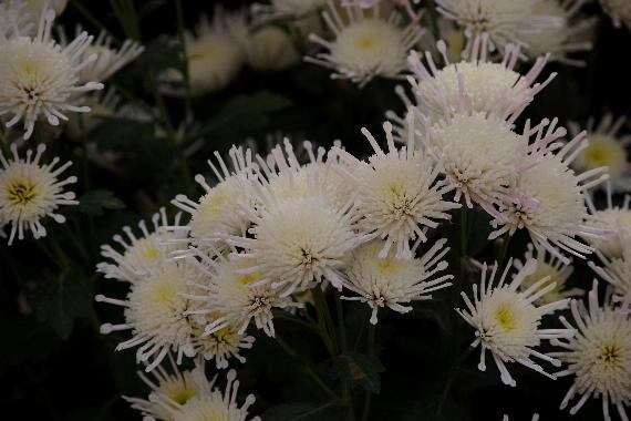 太宰府天満宮菊花展~2 6
