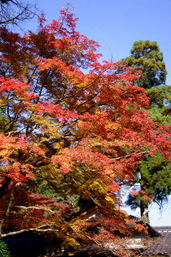 2012・最後の紅葉は永勝寺 2