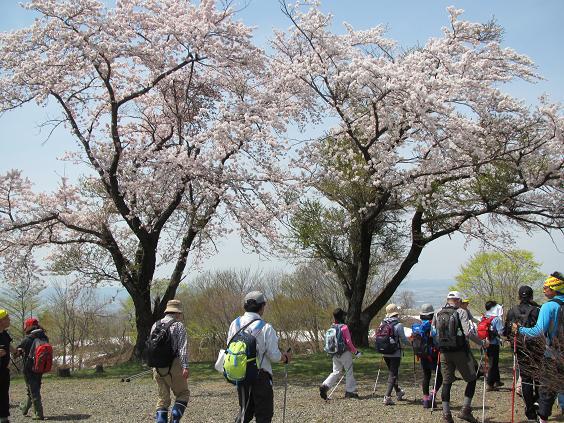 八方台の桜