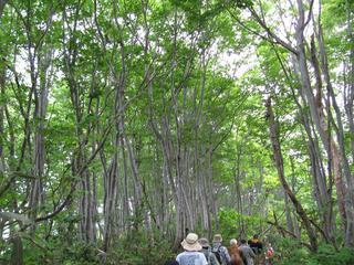 花立峠からの新緑のぶな林を歩く