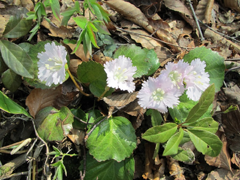 登山道沿いに咲くイワウチワ