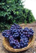 230px-Autumn_Royal_grapes.jpg
