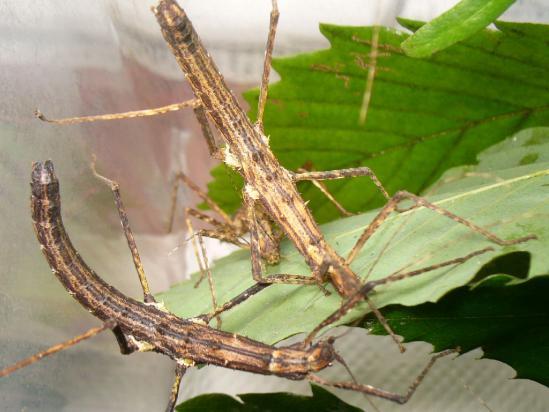 トゲナナフシの成虫(メス)