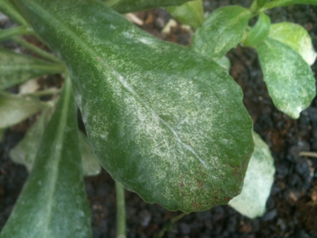 Damage caused by Red Spider Mites