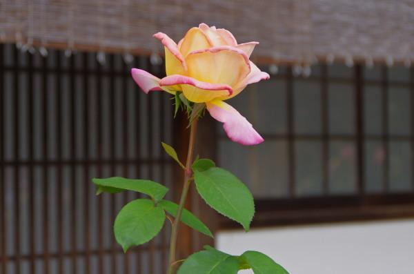 薔薇HDR