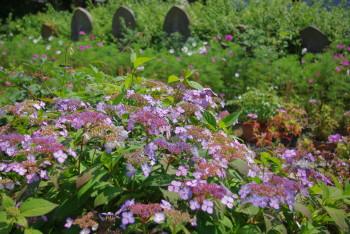 額紫陽花と石仏