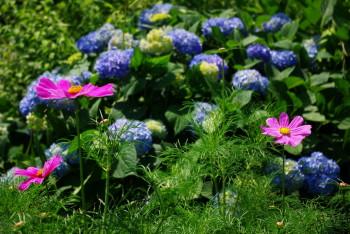 春コスモスと紫陽花