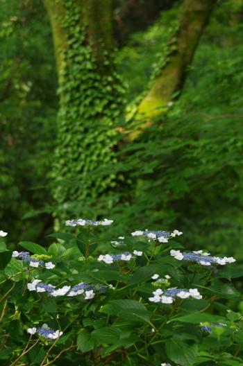 甘樫丘 紫陽花