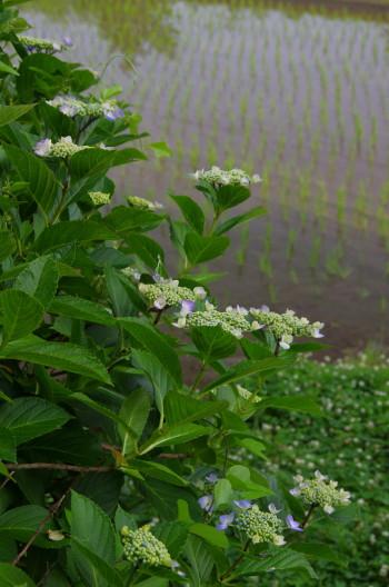 稲淵 紫陽花1