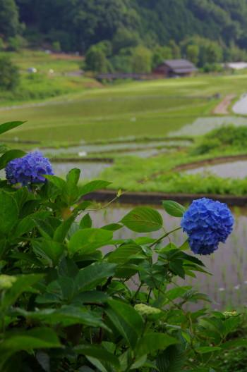 稲淵 紫陽花
