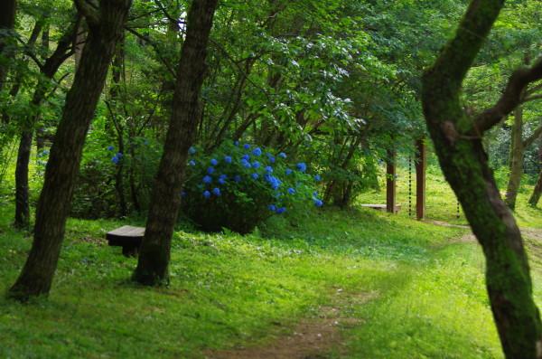 甘樫丘 紫陽花1