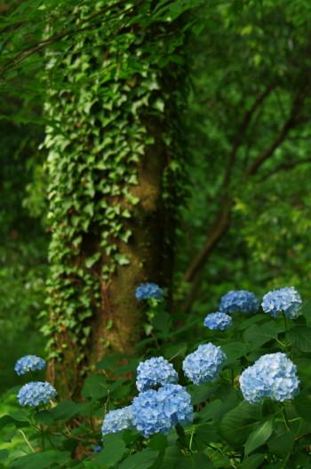 甘樫丘 紫陽花2