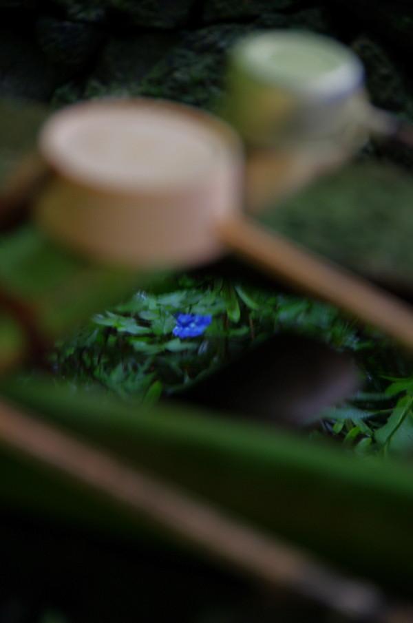 長谷寺 手水の中のあじさい1