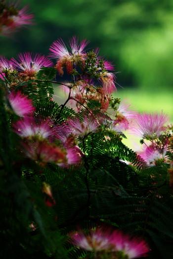 ネムの花1