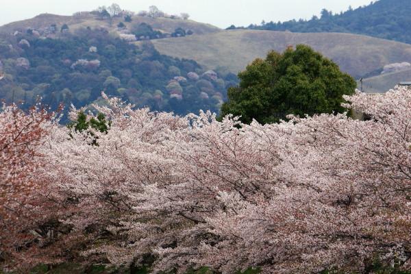 桜と若草山4月