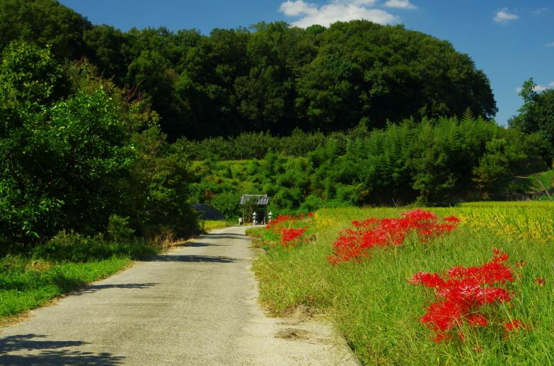山の辺の道 彼岸花2