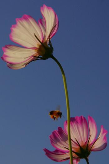 法起寺コスモスと蜂