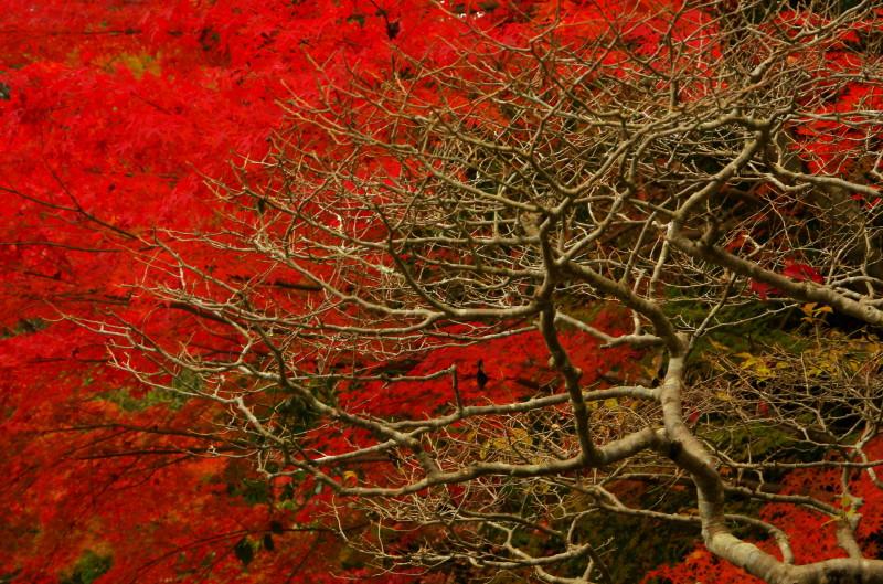 庭 園成寺 紅葉2