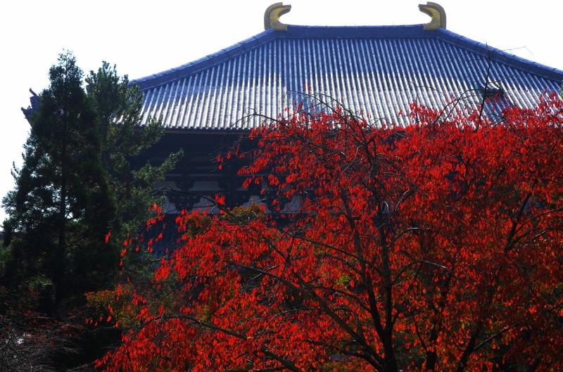 桜モミジと大仏殿1